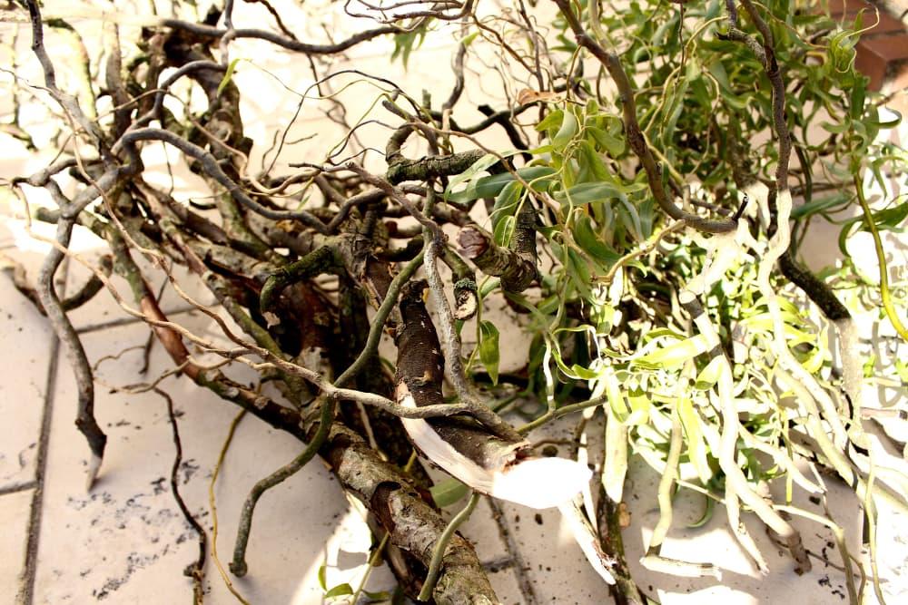 Korkenzieher Weide Zweige für Grusellampe