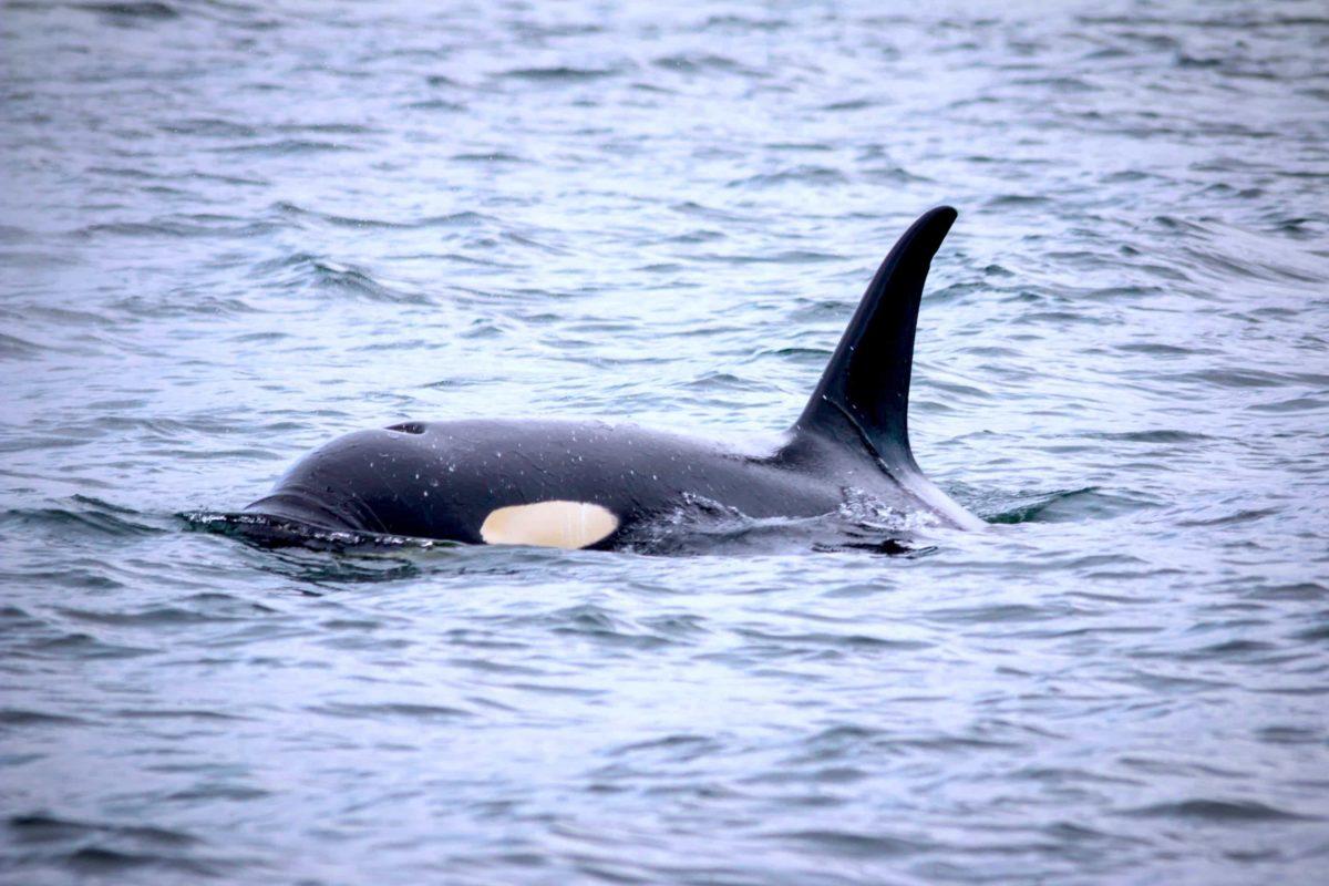 North Sailing Walbeobachtung - Delfine