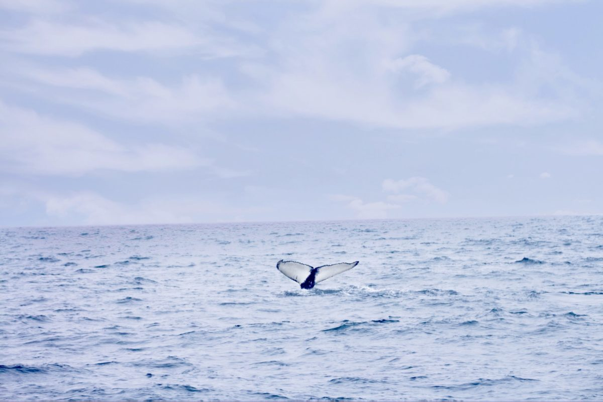 Húsavík North Sailing Walbeobachtung